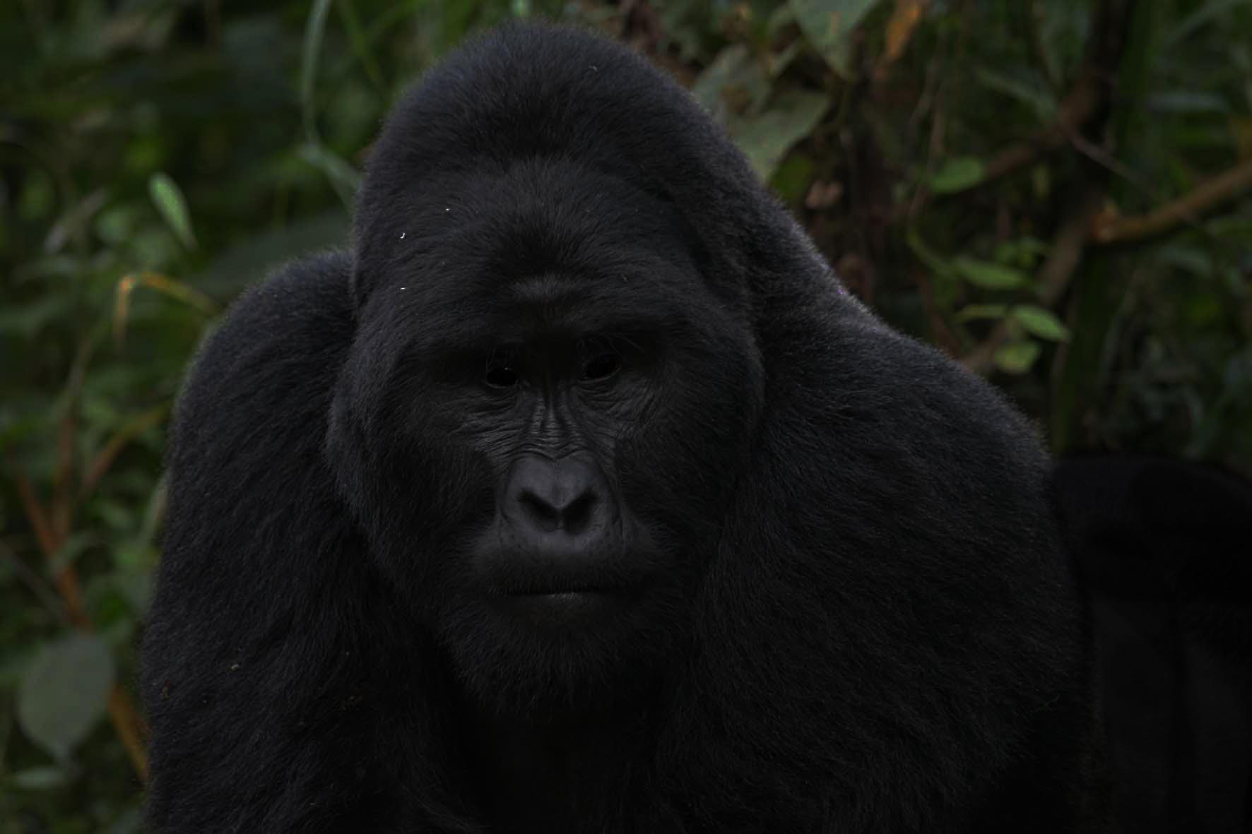 2012-08-18-GorillaSilverback6